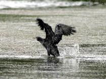 http://www.klimaforschung.net/artenvielfalt/kormoran.jpg
